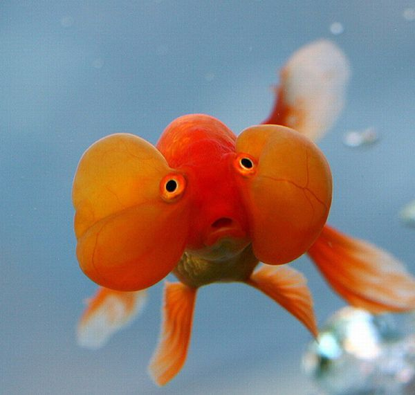 Золотые рыбки (20 фото)