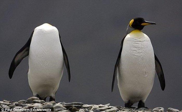 Безглавый пингвин! Жесть (2 фото)