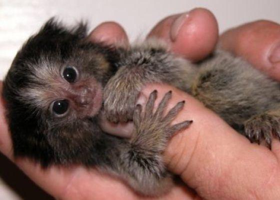 Малюсенькие обезьянки (16 фото)