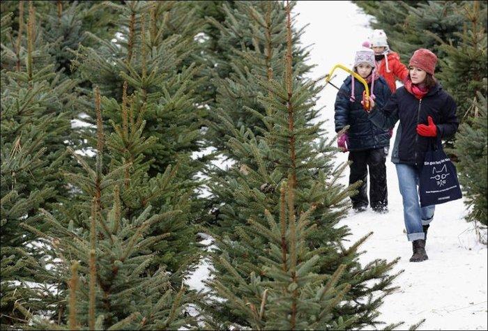 Рождественские елки с фермы Mellensee около Берлина (27 фото)