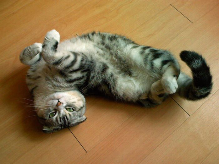 Коты в интересных позах (49 фото)