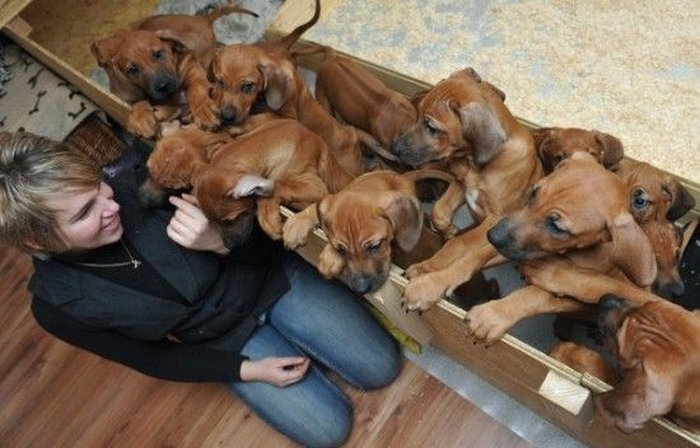 В Германии собака родила 17 щенков (6 фото + видео)
