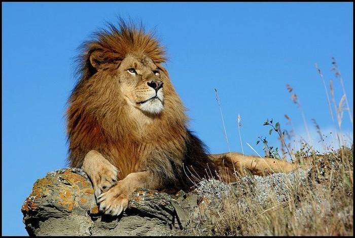 Царь зверей (8 фото)