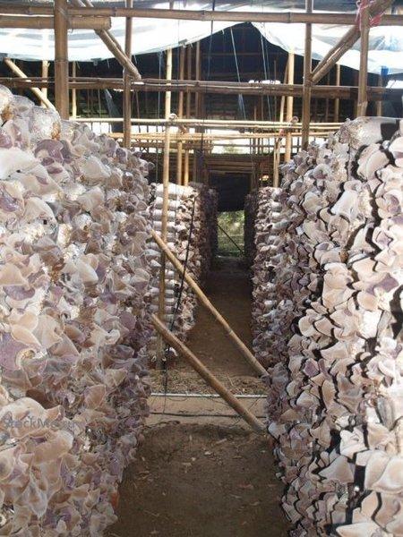 Выращивание китайских грибов (13 фото)