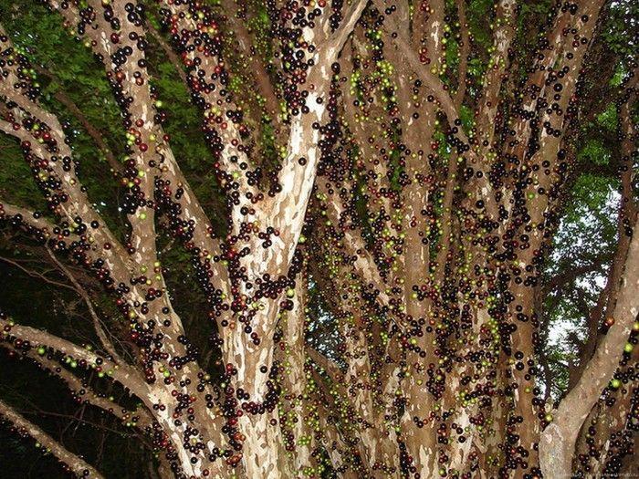 Джаботикаба – растение с плодами на стволе (15 фото)