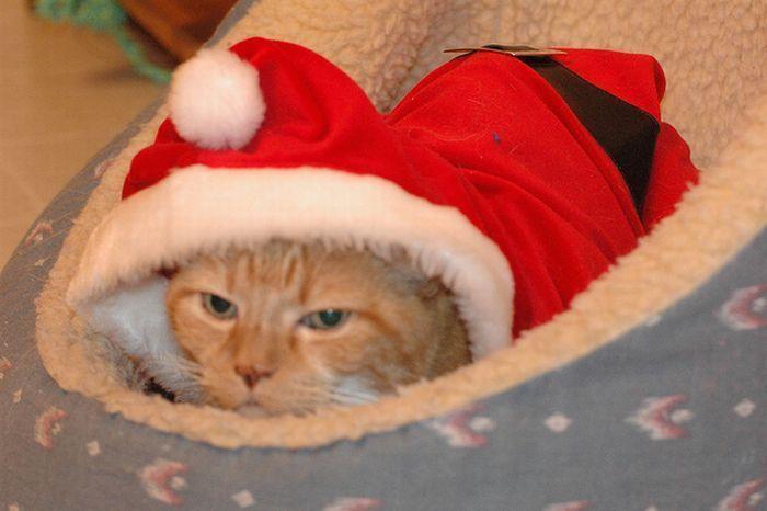 Рождественские коты (20 фото)
