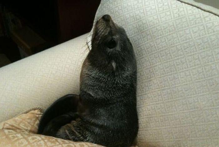 В Новой Зеландии детеныш тюленя пробрался в дом (7 фото + 1 видео)