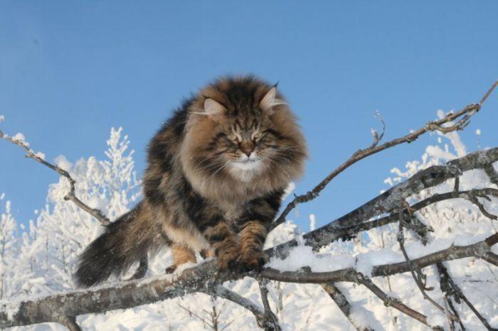 Потрясающий сибирский кот (15 фото)