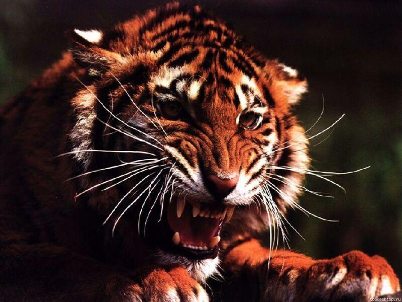 http://fishki.net/picsw/122011/28/bonus/tigri/023.jpg