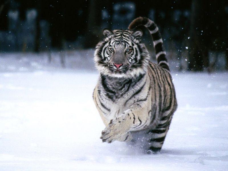 http://fishki.net/picsw/122011/28/bonus/tigri/026.jpg