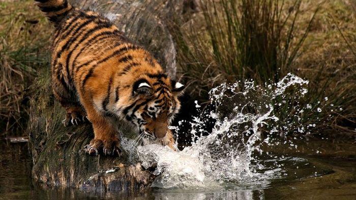 Невероятные фотографии тигров (30 фото)