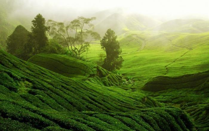 Чайные плантации в фотографиях (20 фото)