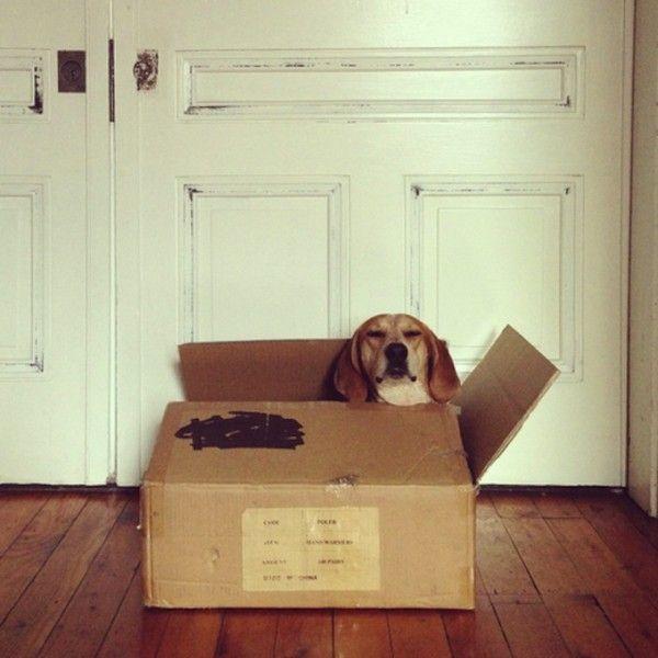 собака, пес, животные, кунхаунд мэдди