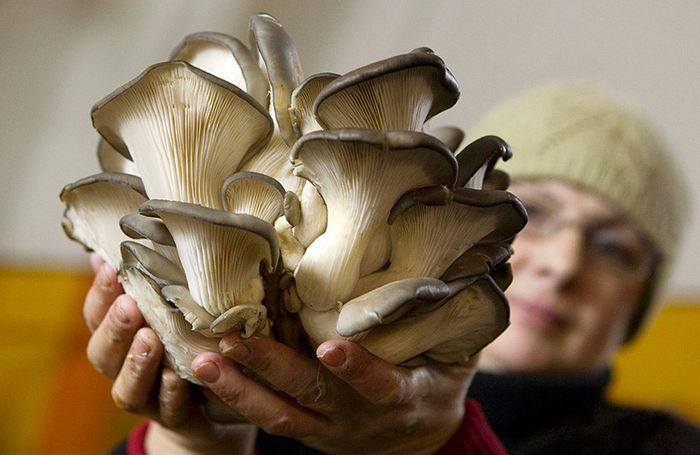 вешенки, грибы, белоруссия, производство