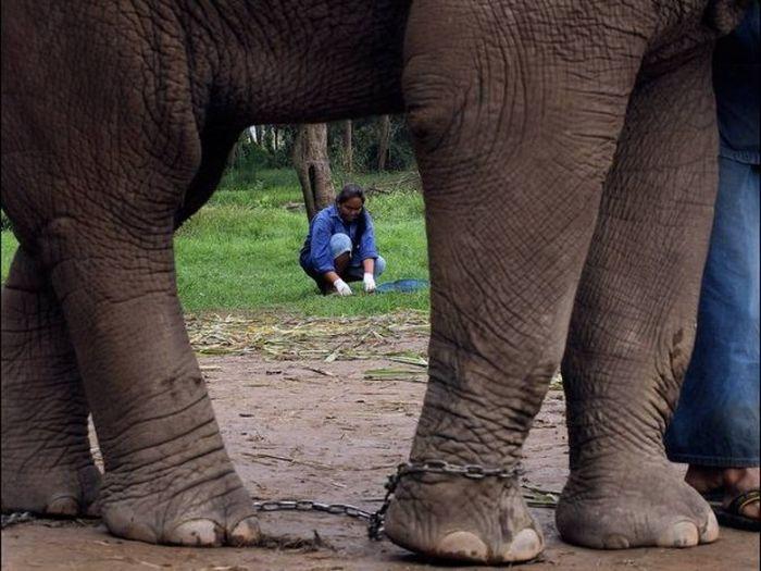 кофе, слон, навоз, тайланд, black ivory
