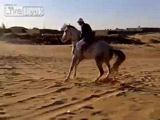 Скакун арабский