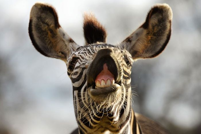 Фотоприкол зебра, корчит рожу, лошадь