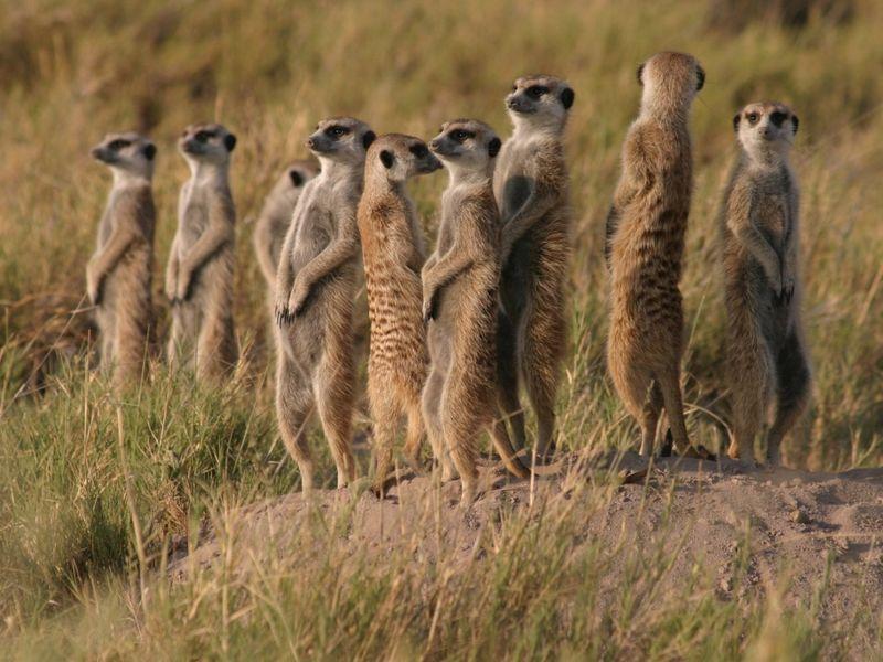 сурикаты, животные, звери, дикая природа