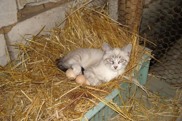 Бесплатный фотоприкол животное, котей, котенок, милое создание, прикольное фото, снес яйца