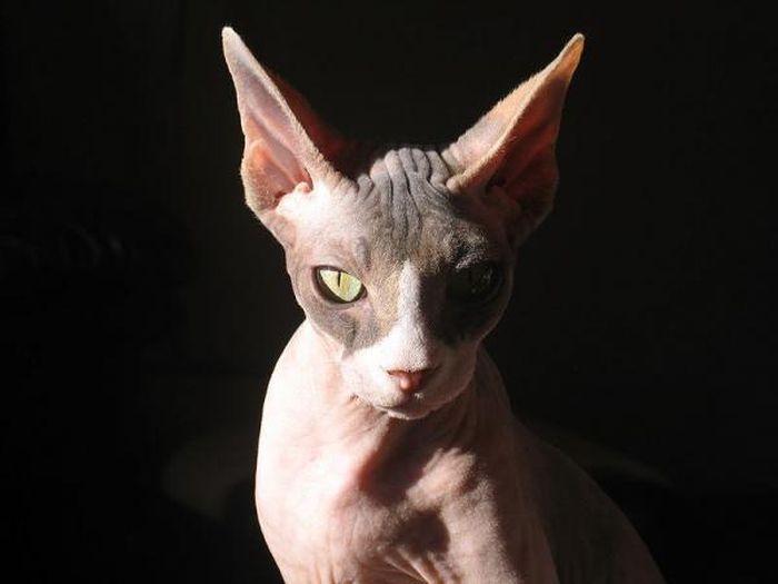 кошка, кот, животные, редкая порода