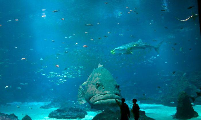 Фотоприкол фото за стеклом, красота природы, огромная рыба, океанариум, под водой