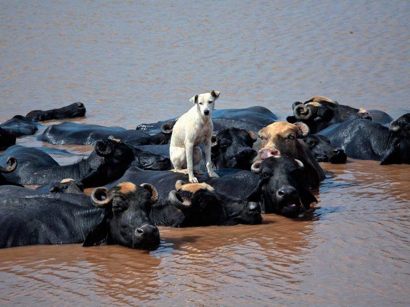 Новый фотоприкол быки, в воде, властвуй, доминируй, корова, повелевай, собака повелевака