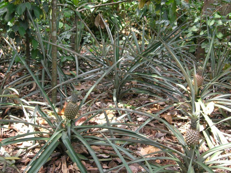 ананас, фрукты, плантация
