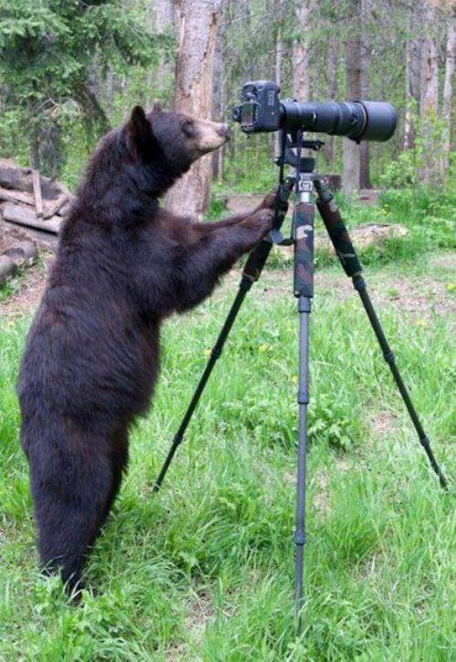 Фотоприкол бесплатно косолапый, медведь, мишка, прикол, фотографирует, штатив