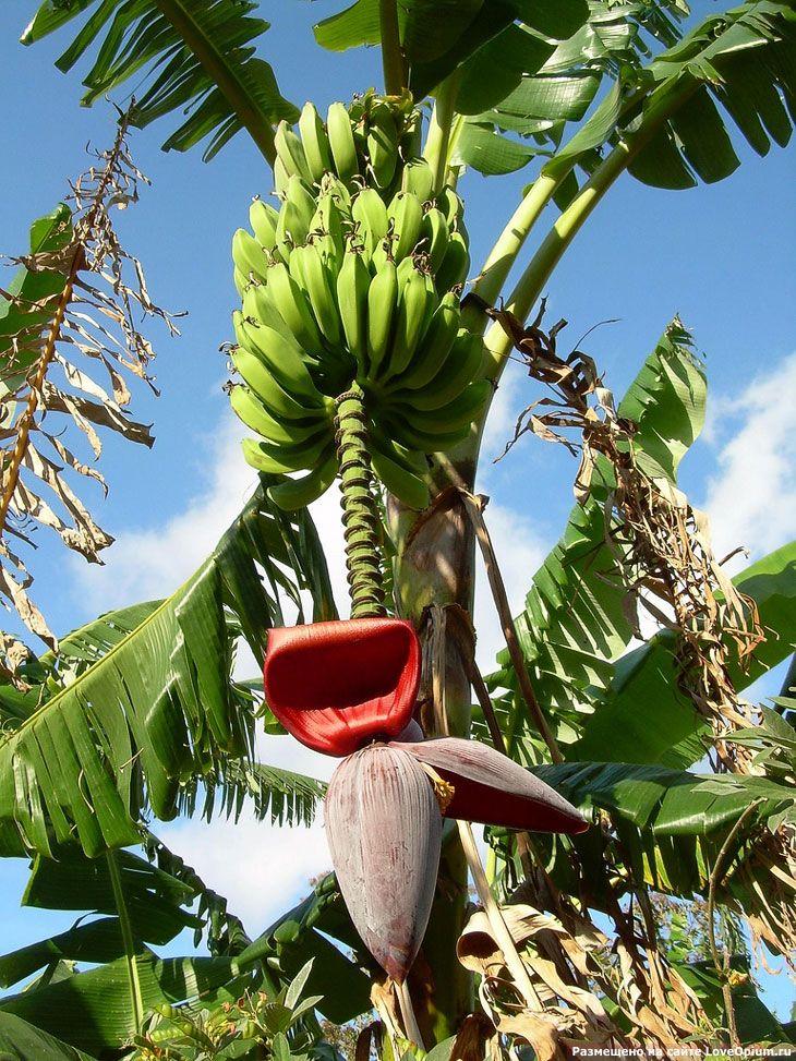 Пальма банан картинки
