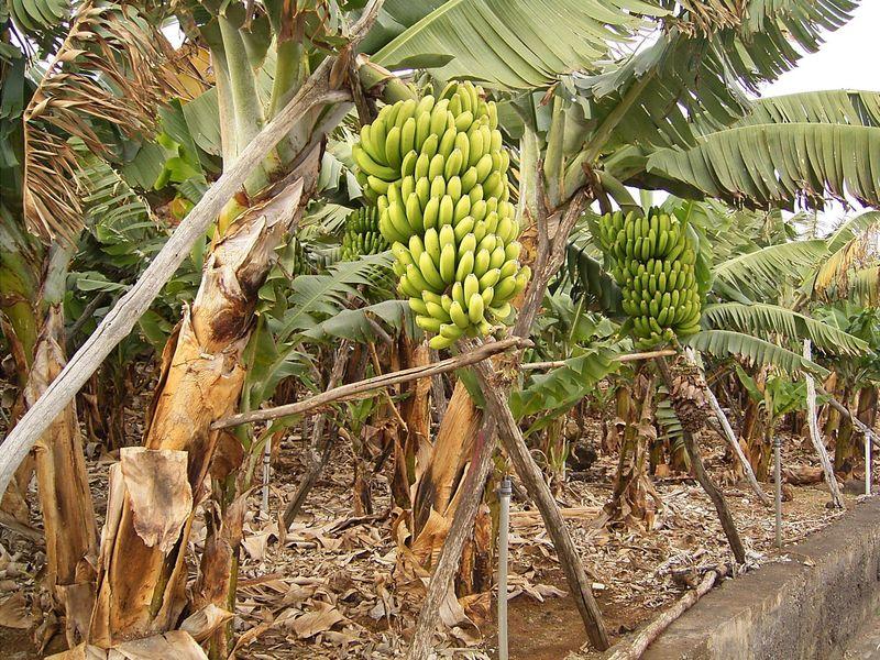 банан, трава, фрукт