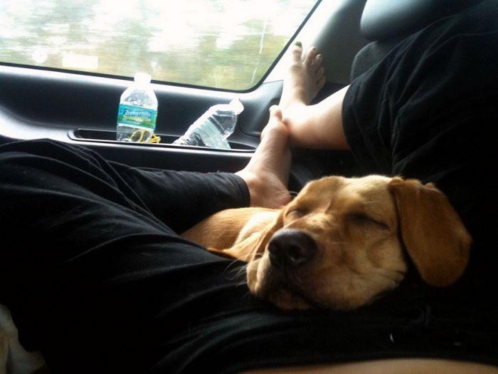 Фотоприкол дня в машине, пес спит, собака в машине, собака и хозяин