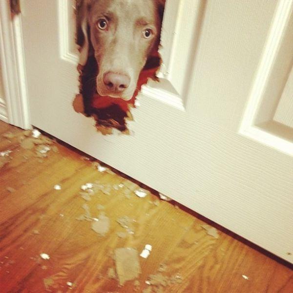 Смешные рисунки грызет, дверь, дырка, псина, разгрызла, сломала, собака