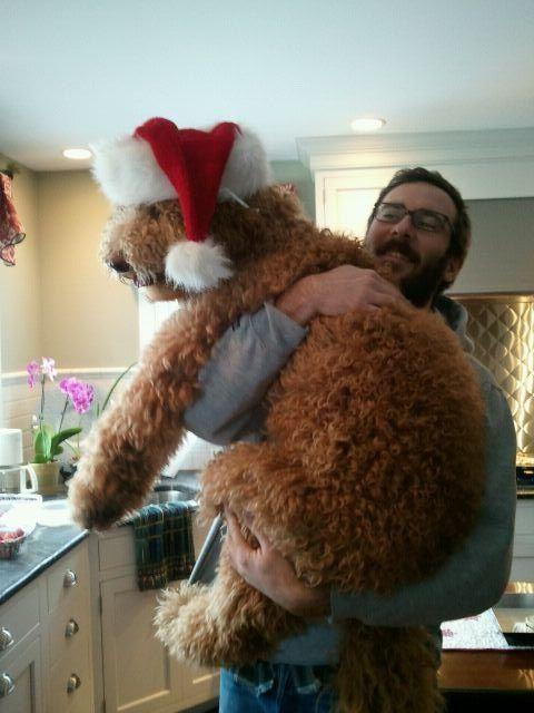 Прикол картинка большой пес, костюм, нарядил пса, санта клаус, собака, шапка