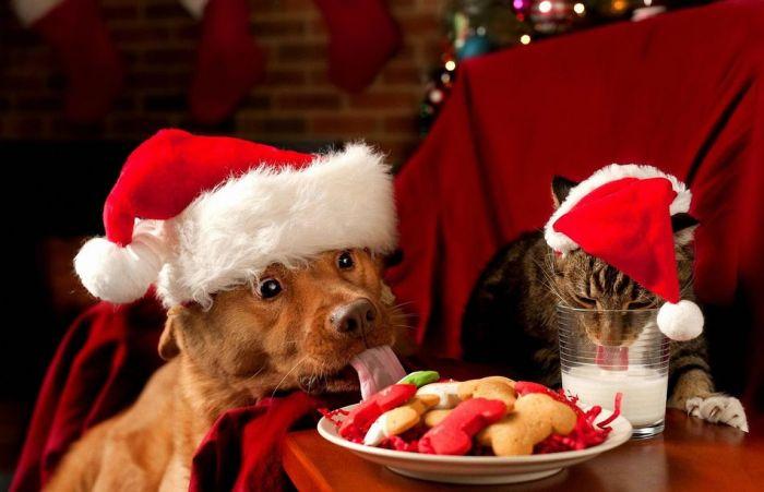 Фото выражение лица, животные, питомцы, рождество, собака и кот, угощение
